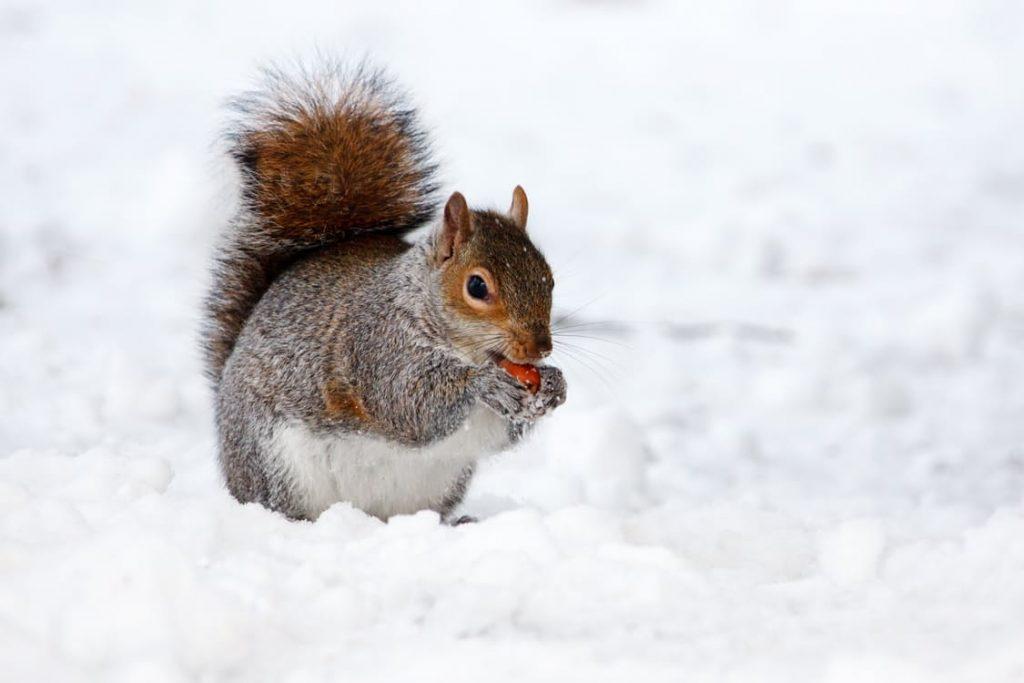 Vinter, ekorre